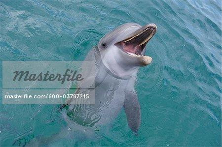 Common Bottlenose Dolphin at Water Surface, Caribbean Sea, Roatan, Bay Islands, Honduras