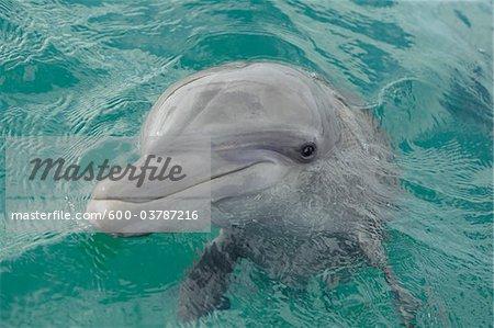 Portrait of Common Bottlenose Dolphin, Caribbean Sea, Roatan, Bay Islands, Honduras
