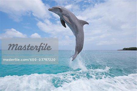 Commune Baleine à bec commune dauphins sautant hors de l'eau, mer des Caraïbes, Roatan, Bay Islands, Honduras