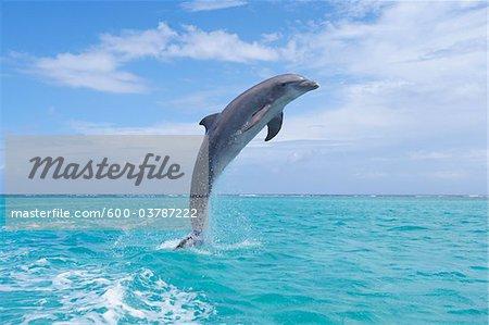 Common Bottlenose Dolphin Jumping out of Water, Caribbean Sea, Roatan, Bay Islands, Honduras