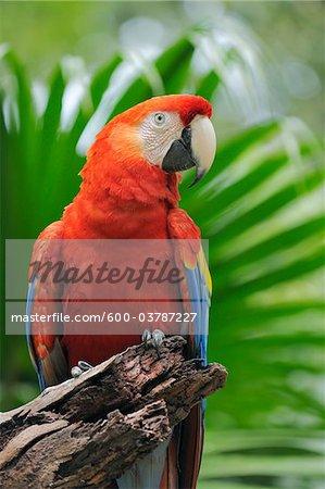 Portrait of Scarlet Macaw, Roatan, Bay Islands, Honduras