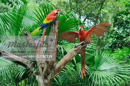 Scarlet Macaws on Tree Stump, Roatan, Bay Islands, Honduras