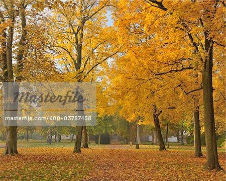 Érable arbres, Nilkheim, Aschaffenburg, Franconie, Bavière, Allemagne