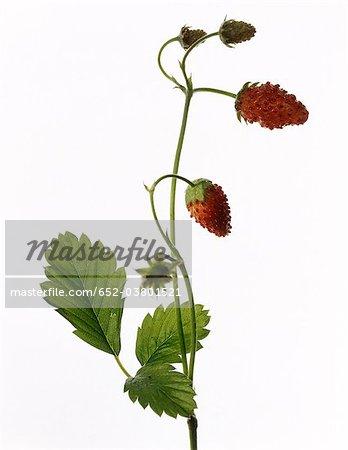Usine de Mara des bois aux fraises