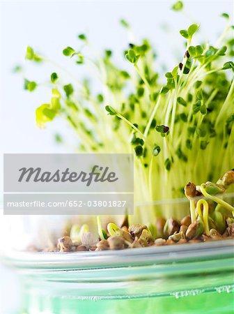 Pousses de brocoli et pousses de sarrasin