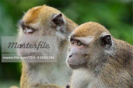 Macaques, Sabah, Borneo, Malaisie