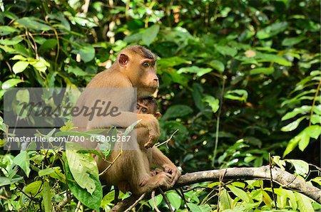 Macaque avec Young, Sabah, Borneo, Malaisie, Asie