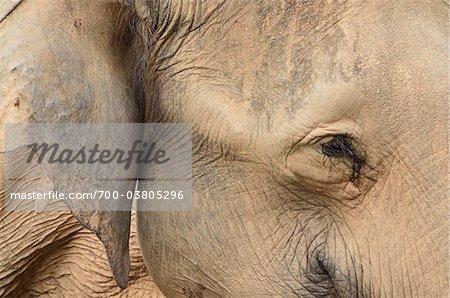 Gros plan de l'éléphant d'Asie, Lok Kawi Wildlife Park, Sabah, Borneo, Malaisie