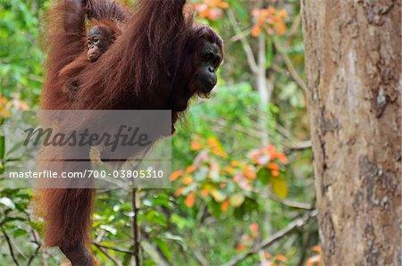 Orang-outan avec Young, réserve de faune Semenggoh, Sarawak, Bornéo, Malaisie