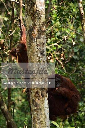 Orang-outan, réserve de faune Semenggoh, Sarawak, Bornéo, Malaisie