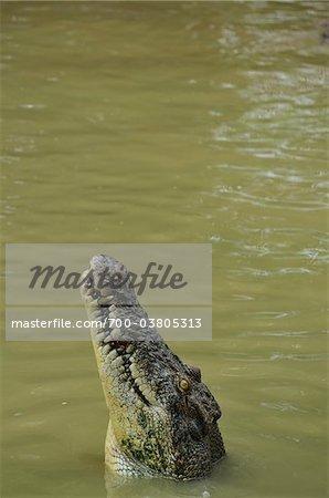 Saltwater Crocodile, Sarawak, Bornéo, Malaisie