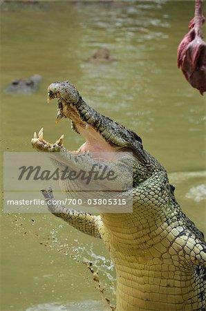 Saltwater Crocodile, Sarawak, Borneo, Malaysia