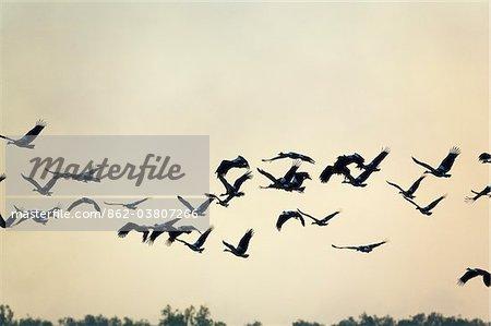 Australia, Northern Territory, Kakadu National Park, Cooinda.  Magpie geese (Anseranas semipalmata) take flight in the Yellow Water Wetlands.