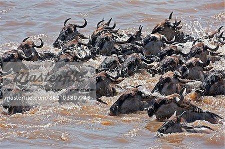 Gnou natation traversant la rivière Mara, au cours de leur migration annuelle, du Parc National du Serengeti en Tanzanie du Nord à la réserve nationale de Masai Mara.