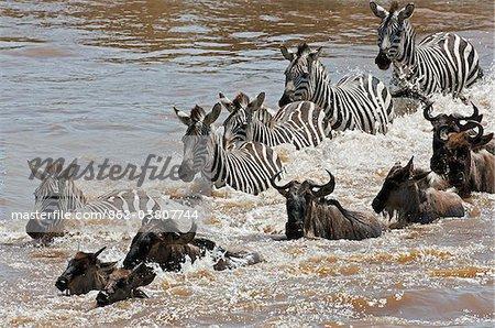Gnous et passage clouté la rivière Mara, au cours de la migration annuelle des gnous du Parc National du Serengeti en Tanzanie du Nord à la réserve nationale de Masai Mara.