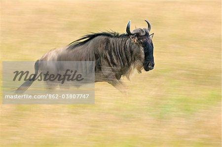 Un gnou traversant herbe doré sur les plaines de Mara lors de la migration annuelle des gnous du Parc National du Serengeti en Tanzanie du Nord à la réserve nationale de Masai Mara.
