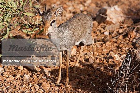 Kenya, Samburu District.  A young male dik dik, foraging in the undergrowth, in Samburu District.