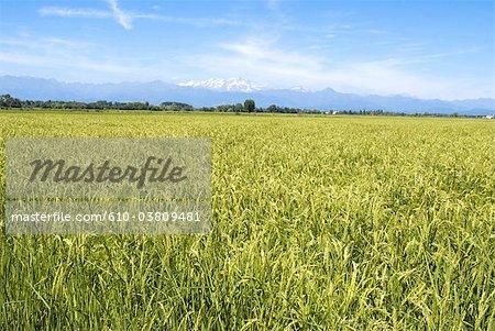 Italie, Piémont, vallée du Pô, rizière