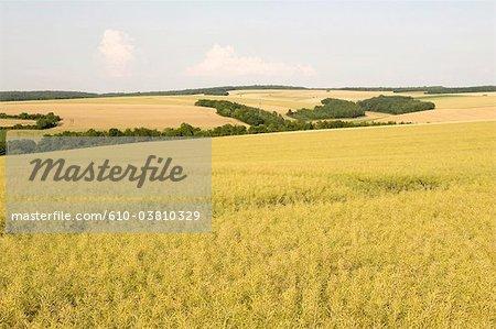 France, Burgundy, fields of rape near Chablis