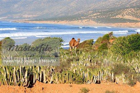 Chameau Maroc, Taghazout,