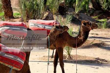 Chameaux Maroc, Marrakech, dans la palmeraie