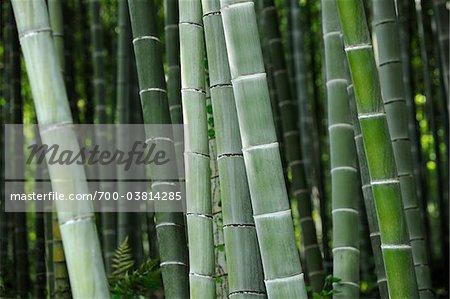 Gros plan des bambous dans la forêt, Sagano, Arashiyama, Kyoto, Kansai, Japon