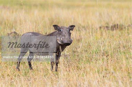 Warthog, Masai Mara National Reserve, Kenya
