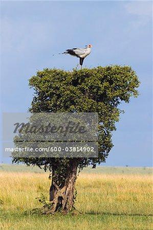 Secretary Bird Nesting on Treetop, Masai Mara National Reserve, Kenya
