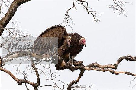 Hooded Vultures on Tree Branch, Masai Mara National Reserve, Kenya
