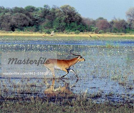 Un mâle cobes rouge traverse l'eau peu profonde au bord du marais Okavango dans l'eau de Reserve.These de la faune de Moremi aimantes antilopes ont écartés des sabots, qui sont idéales pour les limites dans l'eau et la boue.Ils ont les manteaux rouges shaggy chesnut et lyre fine en forme de cornes.