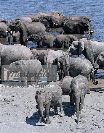 Un grand troupeau d'éléphants boire à la River.Elephants de Chobe peut passer plusieurs jours sans eau, mais boire et se baigner tous les jours par choix.Durant la saison sèche, quand tous les trous d'eau saisonniers et casseroles ont séché, des milliers d'animaux sauvages convergent sur la rivière Chobe, à la frontière entre le Botswana et la Namibie.