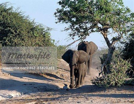 Éléphants approchent le Chobe en fin d'après-midi.Éléphants peuvent passer plusieurs jours sans eau, mais boire et se baigner tous les jours par choix.Durant la saison sèche, quand tous les trous d'eau saisonniers et casseroles ont séché, des milliers d'animaux sauvages convergent sur la rivière Chobe, à la frontière entre le Botswana et la Namibie.