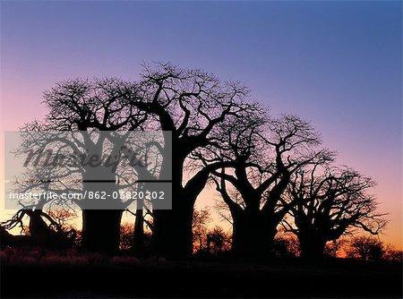 Un ciel de l'aube silhouettes un bosquet spectaculaire de baobabs antique, appelée Baines Baobabs, qui est perché sur le bord oriental de la Kudiakam Pan dans le Parc National de Nxai Pan.