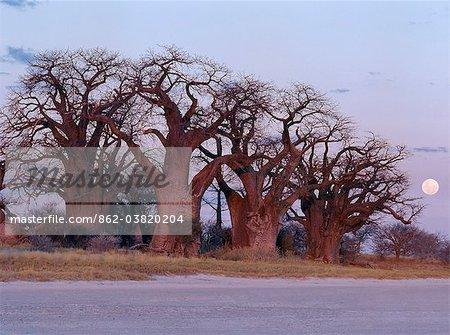 La pleine lune se lève sur un bosquet spectaculaire de baobabs antique, appelée Baines Baobabs, qui est perché sur le bord oriental de la Kudiakam Pan dans le Parc National de Nxai Pan.