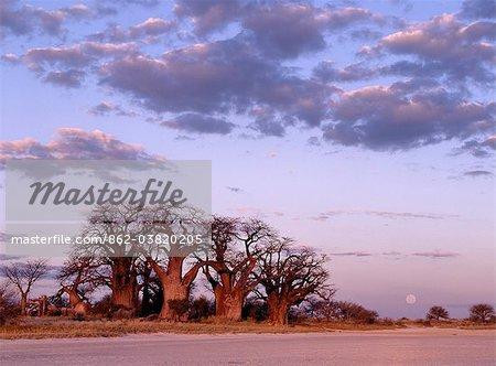 Une pleine lune se lève sur un spectaculaire bosquet de baobabs antique, appelée Baines Baobabs, qui pose sur la bordure orientale de la Kudiakam Pan dans le Parc National de Nxai Pan.