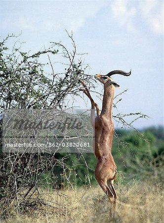 Gazelle de Waller mâle se nourrir dans les navigateurs de Samburu National Reserve de Kenya.Strictly Nord, Gazelle de Waller peut souvent été vu nourrissent branches six pieds de hauteur en restant sur leur cale en forme de sabots, pris en charge par leurs pattes fortes.Bien adapté aux terres arides semi, ils peuvent résister aux conditions sans eau avec facilité.