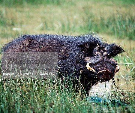 Un porc géant ou hylochère, dans le saillant du Parc National Aberdare. Seulement découvert pour la science une centaine d'années, ces porcs fortement intégrés, aux cheveux longs upland fréquente zones boisées et sont rarement observées.Les mâles adultes pèsent 100 lb de plus que les femelles.