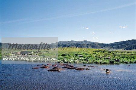 Hippopotames se vautrer dans un petit lac d'eau douce sur le plancher de l'étage de 102 mille carré monde célèbre Ngorongoro Crater.The cratères est spectaculaire pour la faune.