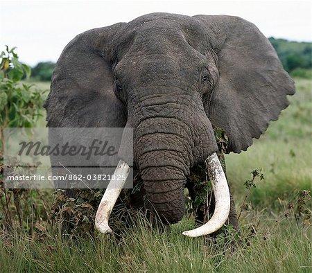Un éléphant mâle fine se nourrit le long du bord du monde célèbre Ngorongoro Crater.The cratères 102 mille carré plancher et les hautes terres environnantes sont spectaculaires pour la faune.