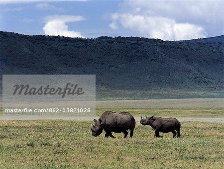 Une mère rhinocéros noir et la progéniture est éclipsé par leur environnement dans le monde célèbre cratère de Ngorongoro. Le plancher de 102 mètres carrés de cratères est spectaculaire pour la faune.