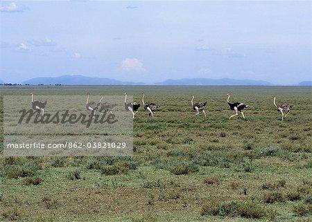 Autruches communs courir à travers les plaines ouvertes près de la limite de l'aire de Conservation de Ngorongoro et le Park.Ngorongoro National Serengeti Serengeti sont deux aires protégées contiguës, qui prend en charge les plus grandes concentrations de gauche de la faune sur terre aujourd'hui