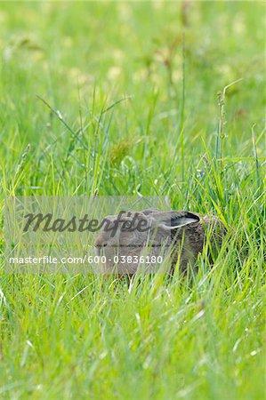 Lièvre brun d'Europe, Hesse, Allemagne