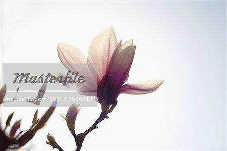 Flowering Magnolia, Hamburg, Germany