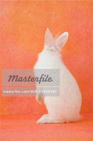Debout de lapin blanc