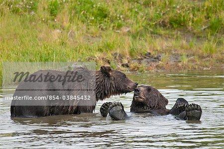 Brown bears jouent dans un étang à l'été de l'Alaska Wildlife Conservation Centre, centre-sud de l'Alaska,