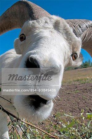 Gros plan grand angle d'un bélier de mouflons de Dall, territoire du Yukon, Canada, été