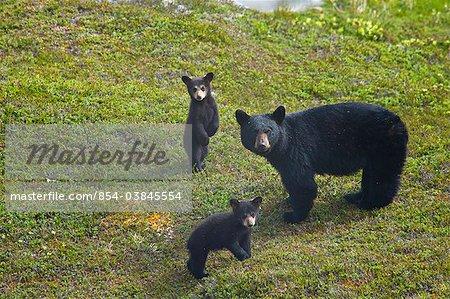 Semer de l'ours noir et ses deux oursons près de Harding Icefield Trail à sortie Glacier dans le Parc National de Kenai fjords, la péninsule de Kenai, centre-sud de l'Alaska, l'été