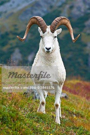 Gros plan d'un bélier de gros mouflons de Dall, debout sur la toundra près de Savage River Valley à Denali National Park and Preserve, intérieur de l'Alaska, automne automne