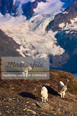 View of three Mountain Goats walking on a ridge near Harding Icefield Trail in Kenai Fjords National Park near Seward,Kenai Peninsula, Southcentral Alaska, Summer