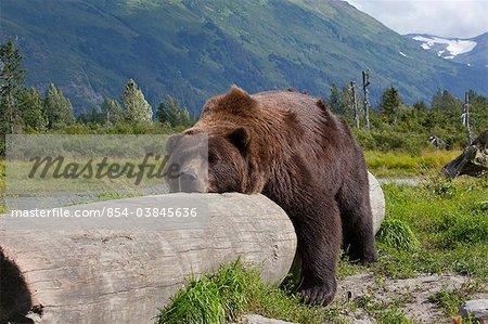 Un ours mâle adulte Pond sur et paresseusement chevauche un journal, centre de Conservation de la faune de l'Alaska, Centre-Sud Alaska, l'été. En captivité